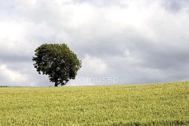 North Yorkshire, Inghilterra; Wheatfield — Foto stock