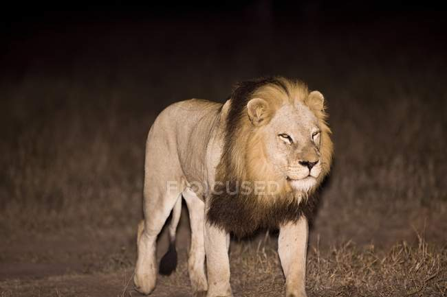 Lion, Arathusa Safari Lodge — Photo de stock