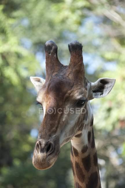 Chiuda in su della faccia di una giraffa — Foto stock