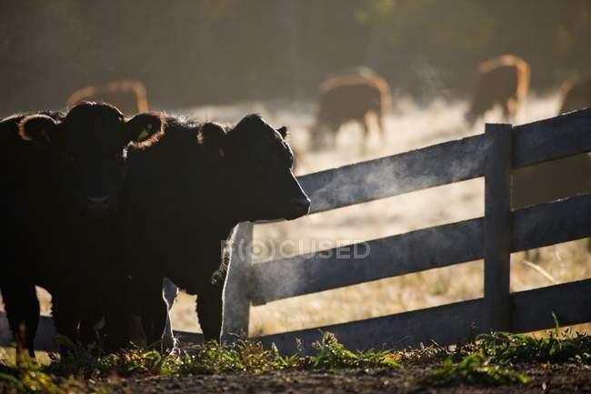 Bovins à côté de la clôture — Photo de stock