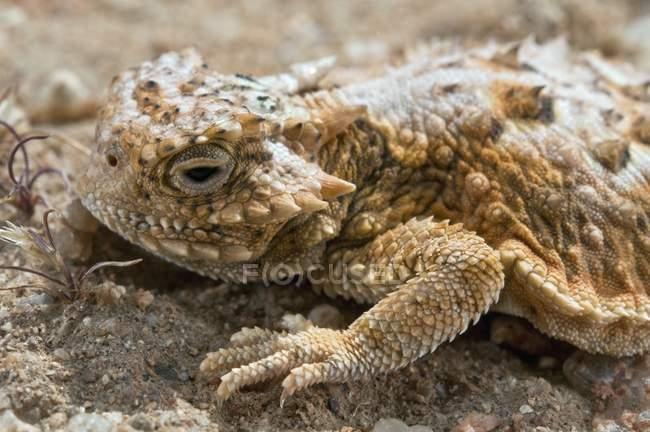 Lucertola cornuta del primo piano sulle rocce nel deserto, fauna selvatica — Foto stock
