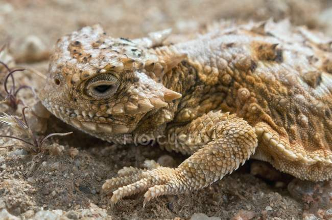 Closeup horned lizard on rocks in desert, wildlife — Stock Photo