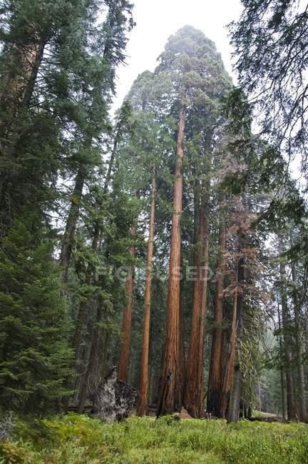 Sequoia Árvores no Parque Nacional Sequoia — Fotografia de Stock