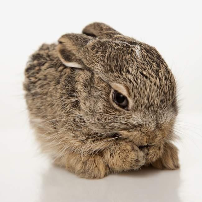 Coniglio del bambino stesso di pulizia — Foto stock