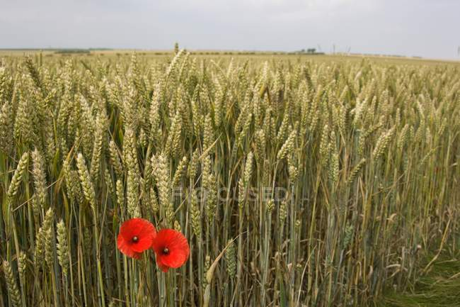Papoilas, ao lado do campo de grãos — Fotografia de Stock