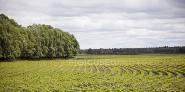 Feld aus Reihen und grünem Gras — Stockfoto