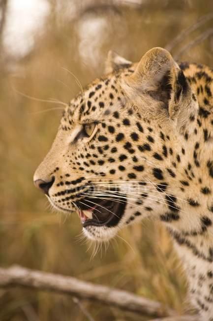 Леопард в Arathusa Safari Lodge — стоковое фото