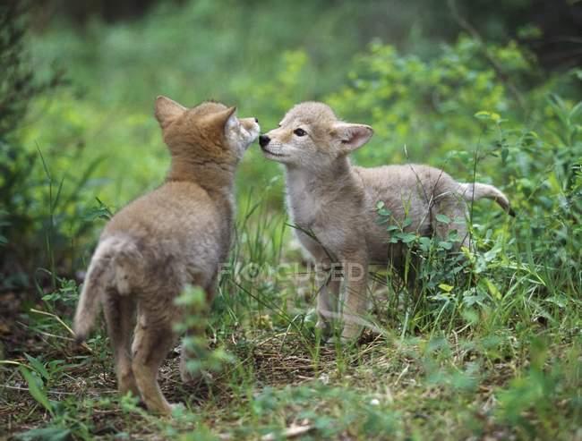 Coyote Puppies  Greeting; Montana, Usa — Fotografia de Stock