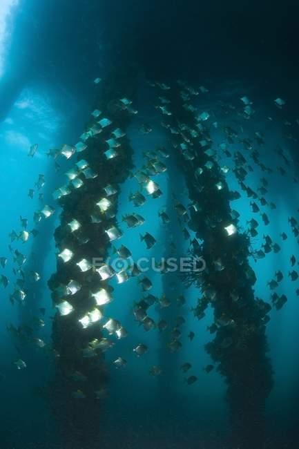 Milkfish nadando bajo el agua - foto de stock