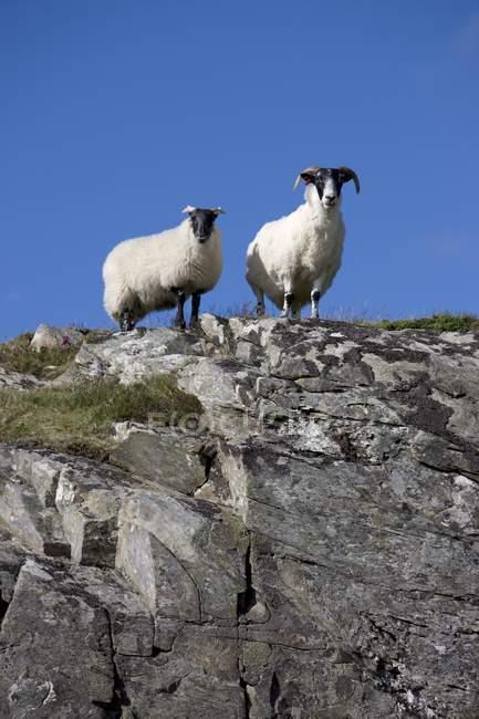 Zwei Schafe auf Felsen — Stockfoto
