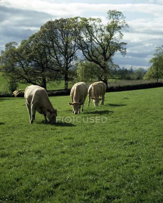Випас в поле великої рогатої худоби — стокове фото