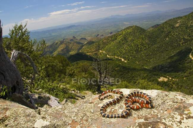 Sonoran Mountain Kingsnake — Stock Photo