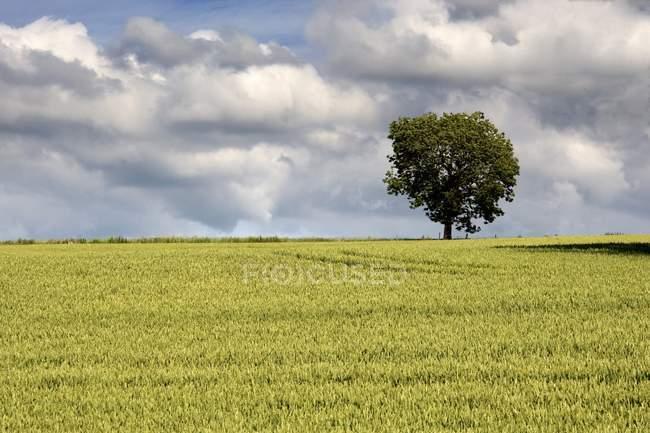 Albero e campo di grano — Foto stock