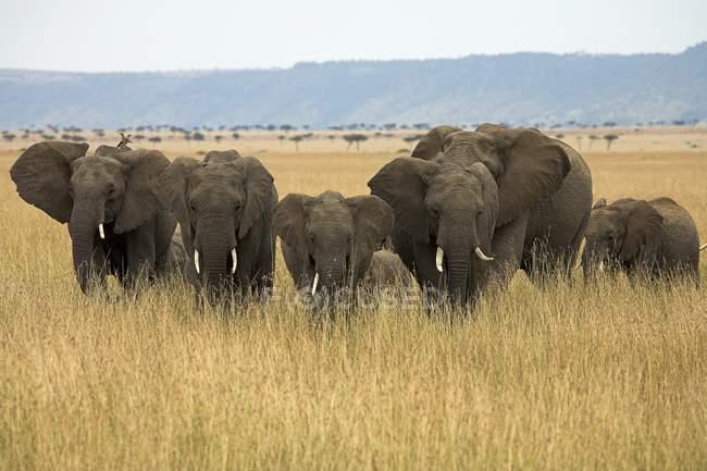 African Elephants, Masai Mara National Reserve — Stock Photo