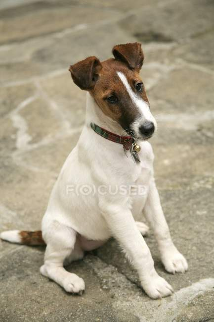 Fox terrier liscio — Foto stock