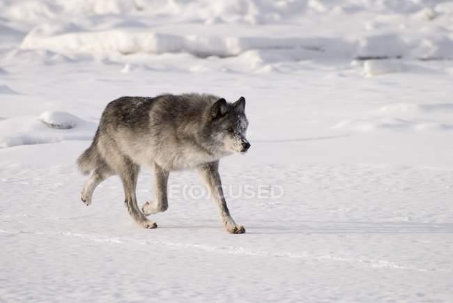 Волк в снегу — стоковое фото