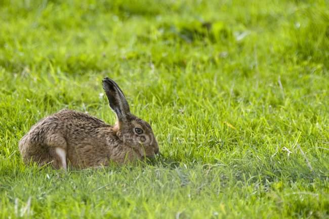Заяц в зеленой траве — стоковое фото