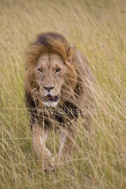 Лев; Масаи Мара Национальный заповедник — стоковое фото