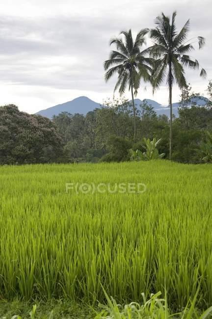 Champs de riz à Bali, Indonésie — Photo de stock