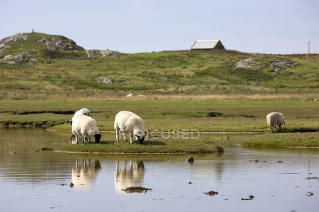 Weidende Schafe in der Nähe von Wasser — Stockfoto
