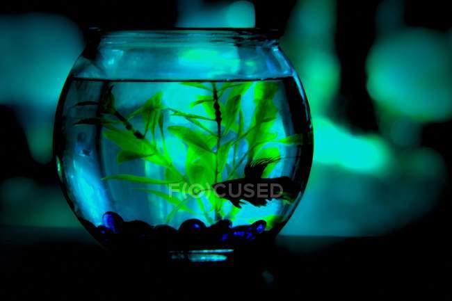 Pesce siamese da combattimento — Foto stock