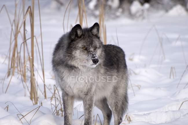 Стоя в снег волк — стоковое фото