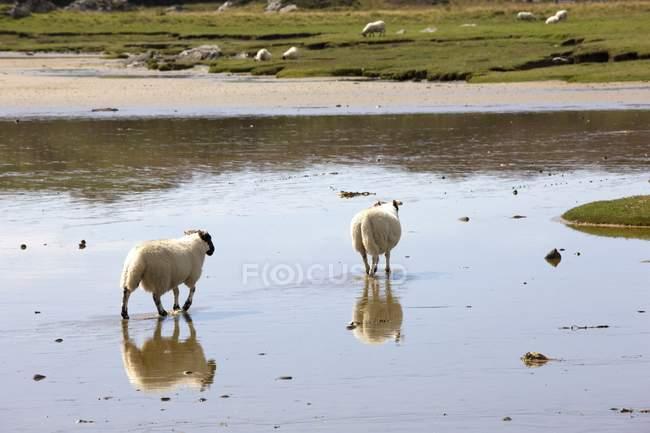 Schafe im Wasser, Colonsay, Schottland — Stockfoto