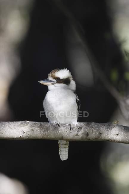Riant Kookaburra sur brindille — Photo de stock