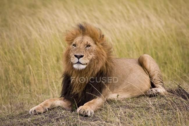 León, Masai Mara National Reserve - foto de stock