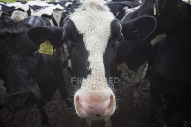 Nahaufnahme der Rinderherde — Stockfoto