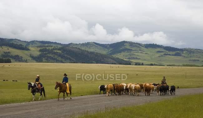 Ковбои, выпас скота, Южной Альберты, Канада — стоковое фото
