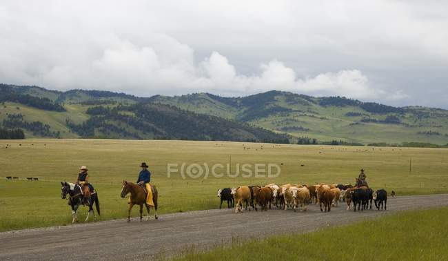 Cowboys Hüten von Vieh, Süd-Alberta, Kanada — Stockfoto