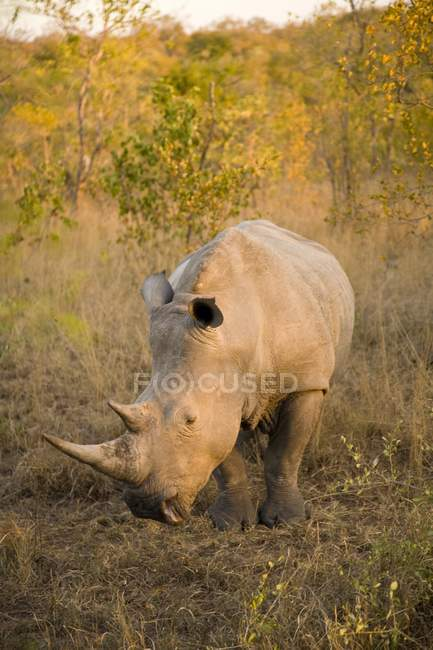 White Rhinoceros at Africa — Stock Photo