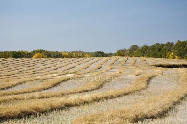 Campo colhido com trigo — Fotografia de Stock