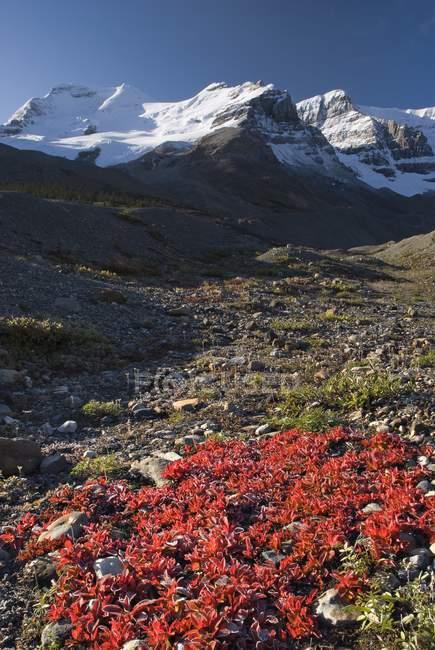 Mont Athabasca, champ de glace Columbia — Photo de stock