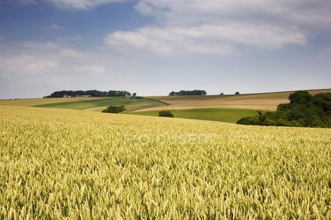 Wheat Field and tree — Stock Photo