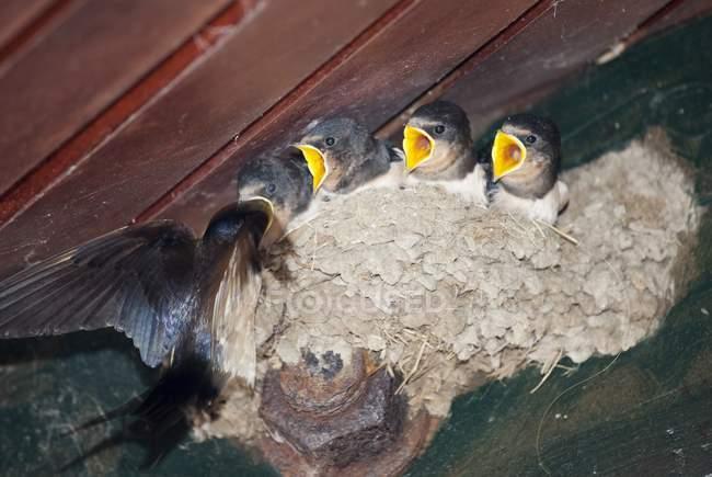 House Martin Chicks — Stock Photo