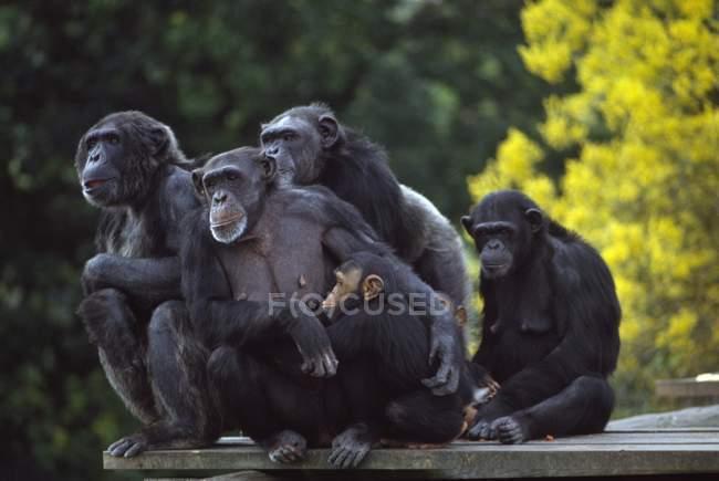 Chimpancés en el zoológico de Dublín - foto de stock