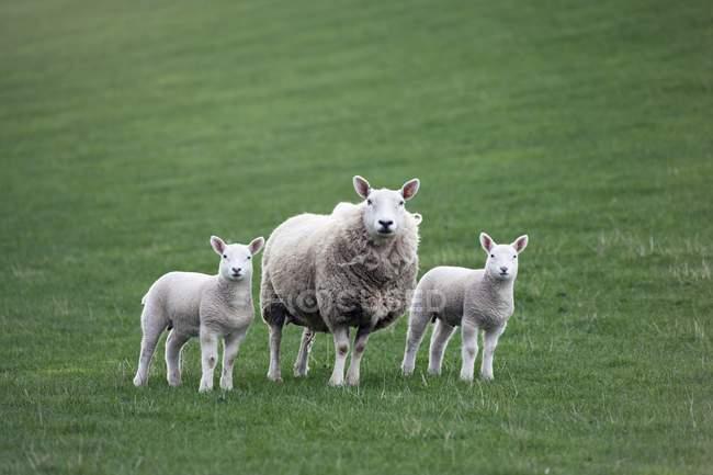Mutter Schafe und Lämmer — Stockfoto