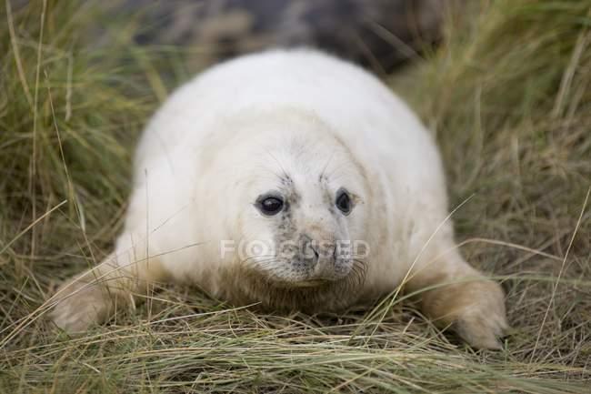 Sigillo grigio posa su erba verde — Foto stock