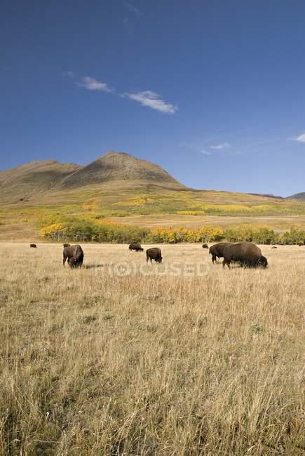 Amerikanischer bison, südliche alberta, kanada — Stockfoto