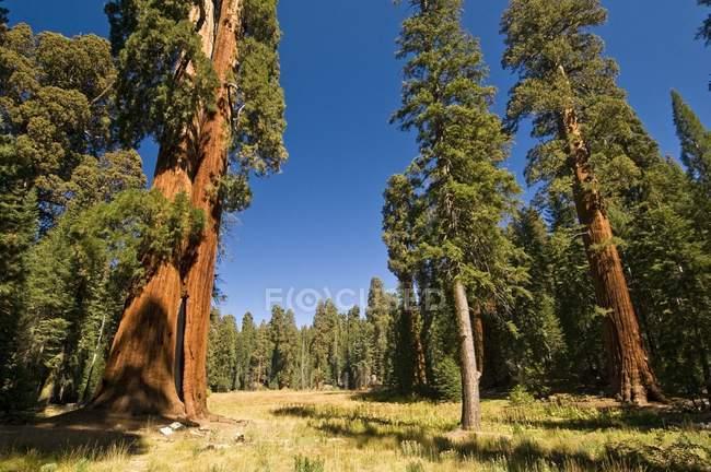 Секвойя дерева в Національний парк Секвойя — стокове фото