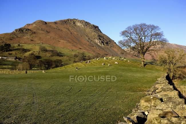 Schafe weiden auf dem Feld, cumbria — Stockfoto