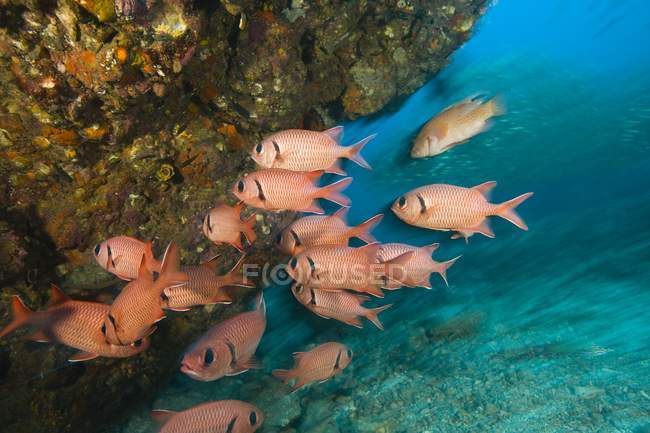 Exotic Epaulette Soldierfishes swimming in ocean near coral — Stock Photo