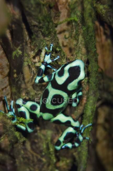 Зелёная и чёрная ядовитая лягушка — стоковое фото