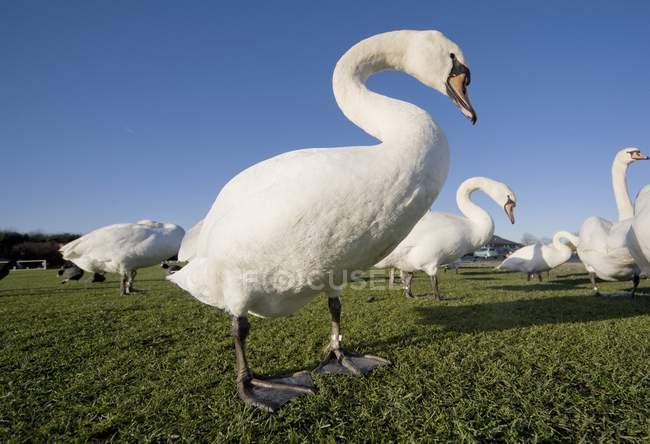 Лебеді stading на траві — стокове фото