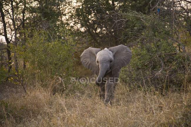 Elefante africano, Arathusa Safari Lodge — Foto stock