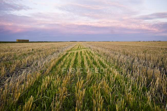 Rural scene of Harvested Field — Stock Photo