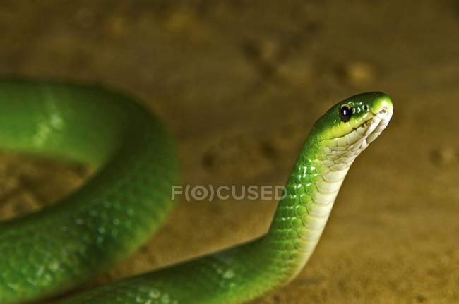 Smooth Green Snake — Stock Photo