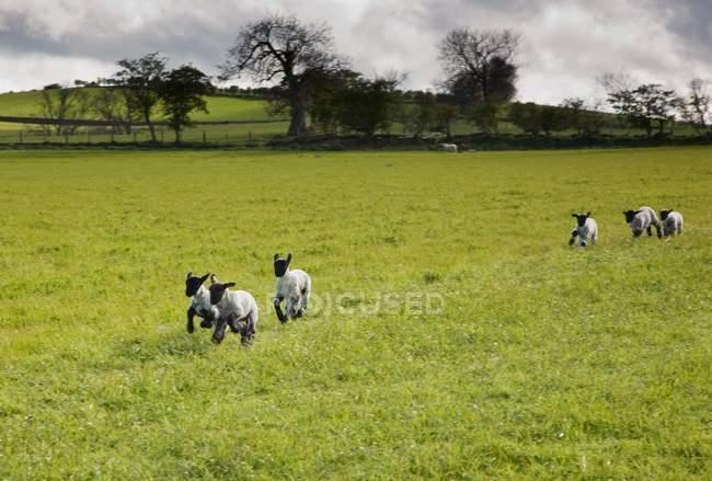 Ovelhas correndo no prado — Fotografia de Stock